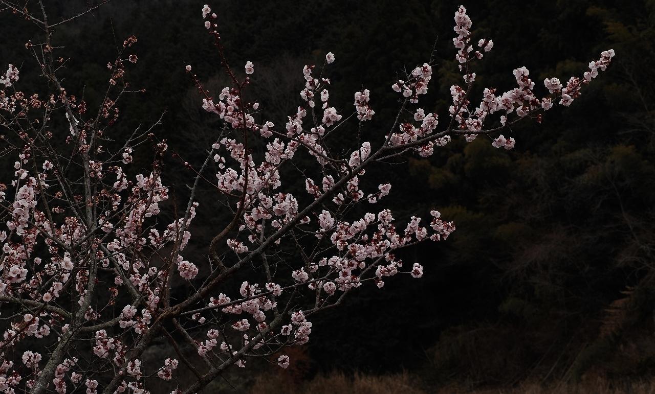A09求菩提の梅