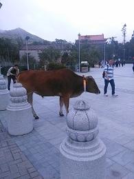 DSC_2427昂比  牛