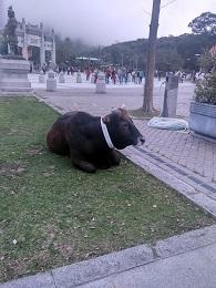 DSC_2423 ゴンピン牛