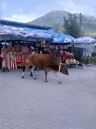 DSC_2426ゴンピン 店先牛