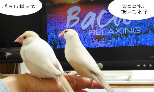 文鳥はバッハとピカソが好きらしい_4