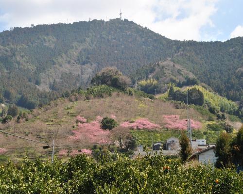 山の斜面の河津桜