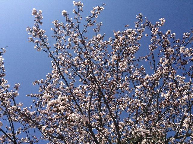 0328敦賀の桜・アオリ