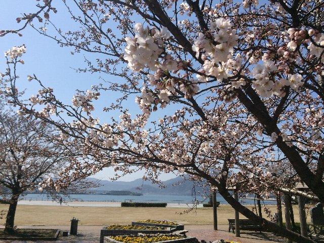 0328敦賀の桜