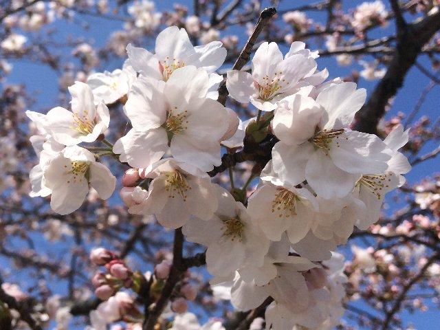 0328敦賀の桜・アップ
