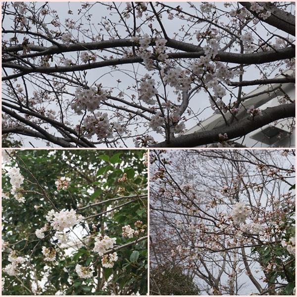 2018-3桜2