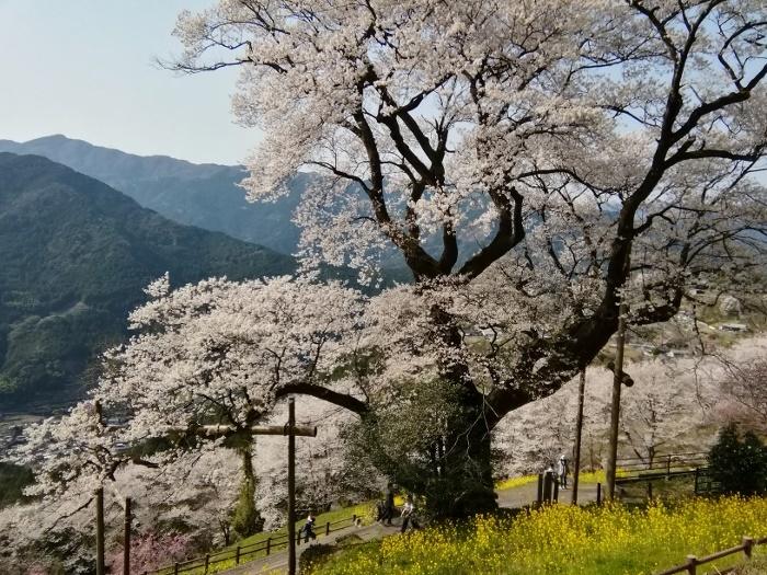ヒョウタン桜