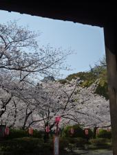 お城の桜1