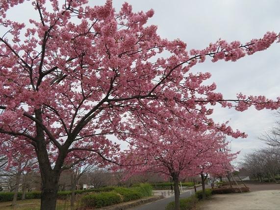 1F01 河津桜満開 0306