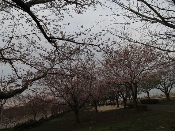 1A02 1週間前の夕方の桜 0324
