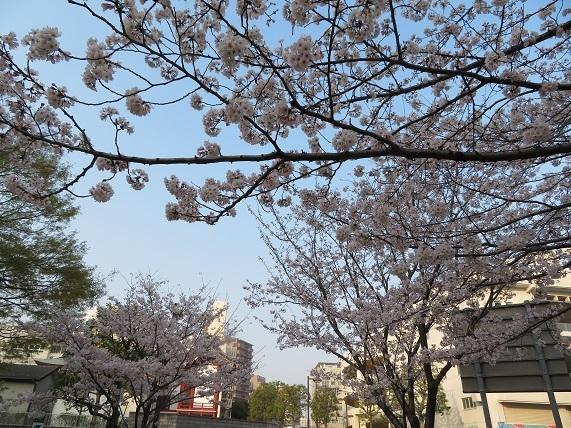 1E02   ミニ公園の桜 0329
