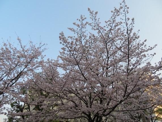 1E01 ミニ公園の桜 0329