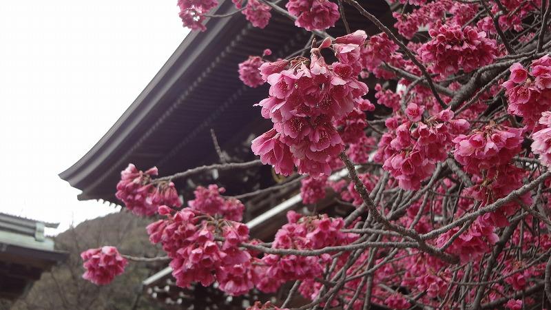 神社入口桜