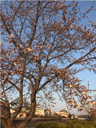 桜2分咲き