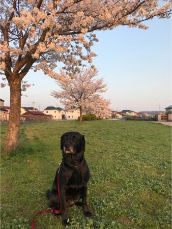 ラブラドールと桜