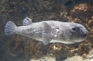 ネズミフグ(海響)