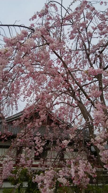桜 芝公園