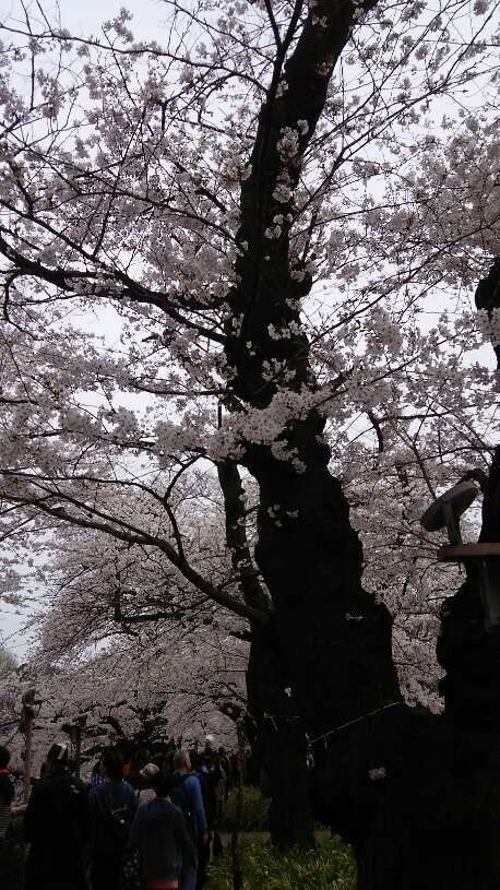 桜 千鳥ヶ淵3