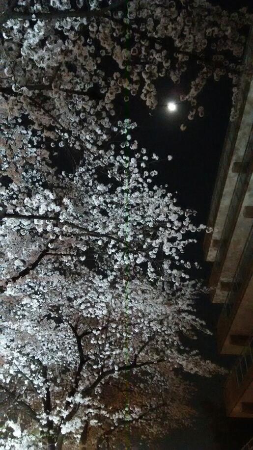 桜 夜の目黒川