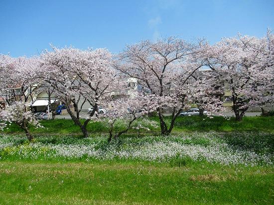 浜大根の花と桜
