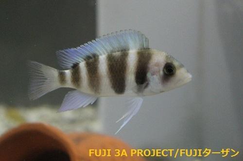キフォティラピアギベローサ ブルーイコラ