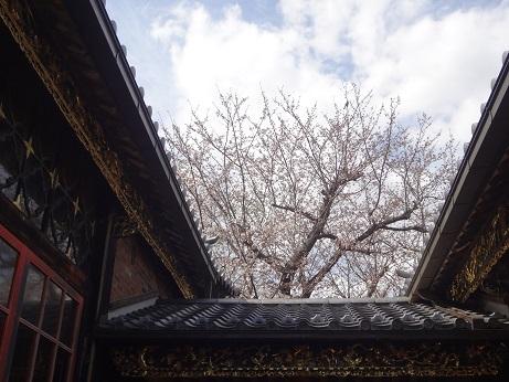 中華義荘櫻2