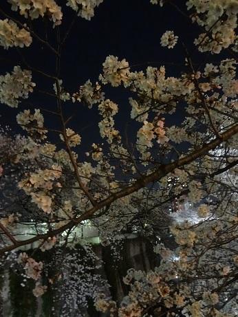 面影橋夜桜