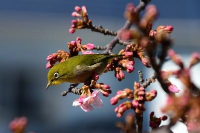 保田川沿いの河津桜とメジロ