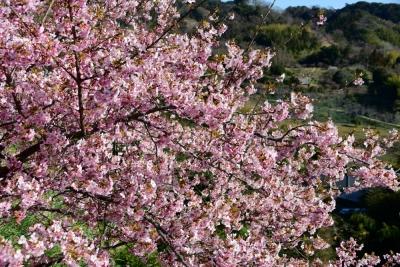 佐久間ダム湖の河津桜