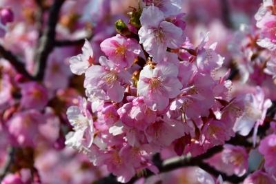 保田川沿いの河津桜