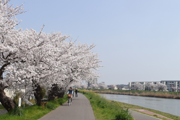桜が満開となった桜川堤