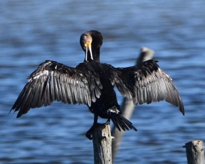 cormorant-1160983_1920.jpg