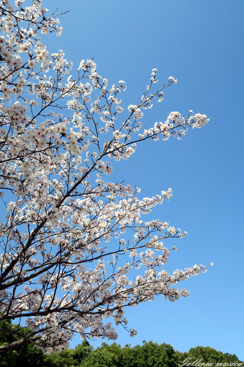 桜のお社1