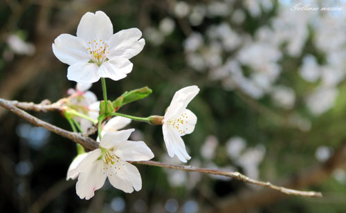 桜のお社2