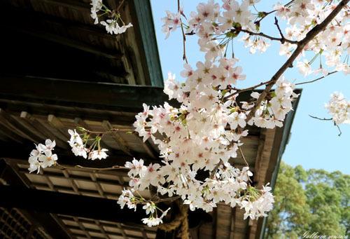 桜のお社4