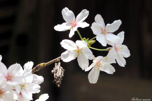 桜のお社6