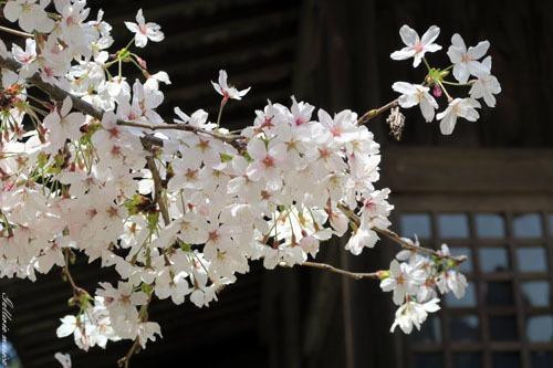 桜のお社7