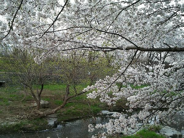 空堀川の櫻