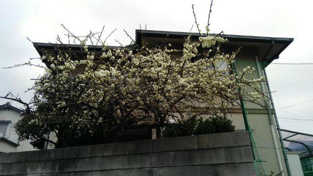 ss-梅開花