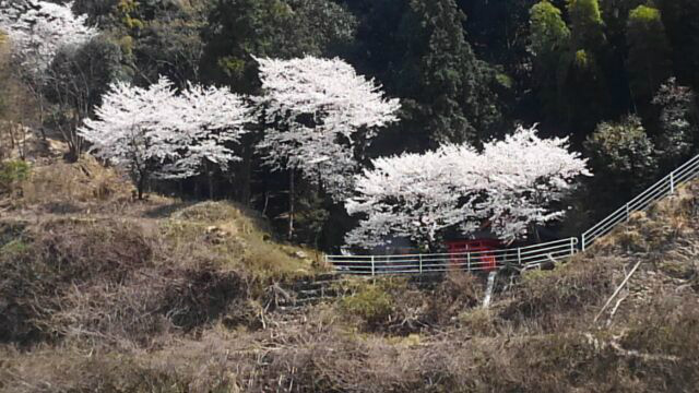ss-山桜