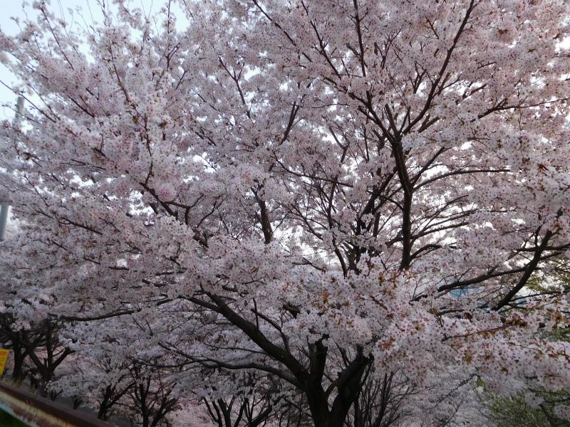 ss-桜花吹雪