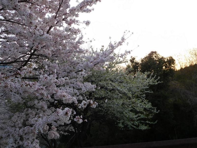 ss-黄桜