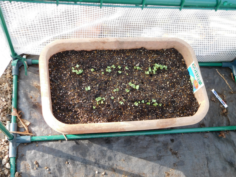 ss-白菜の芽