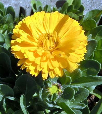180326-金盞花-1