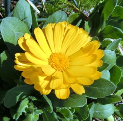 180326-金盞花-2