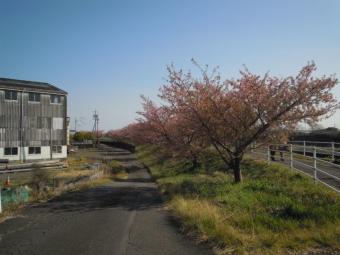 朝比奈川河津桜180311