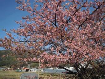 朝比奈川河津桜満開の木180311