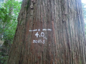 大きな杉180316