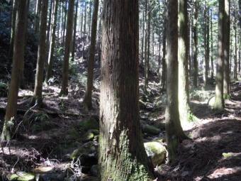杉林のなか180317