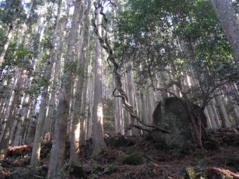 面白い木発見180317